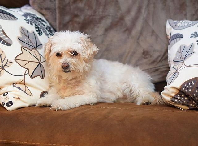 cruza de caniches : Bichon Poodle (Poochon) - Bichon Frise + Poodle