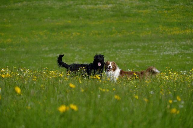 cruza de caniches : Labradoodle australiano -  Labrador Retriever + Poodle