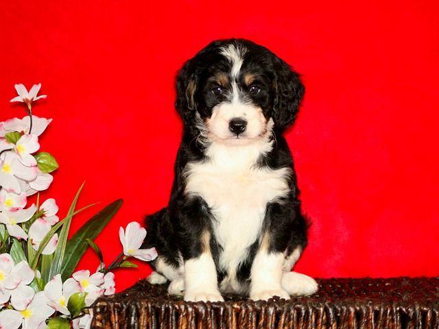cruza de caniches : Bernedoodle - Perro de montaña de Berna  + Caniche