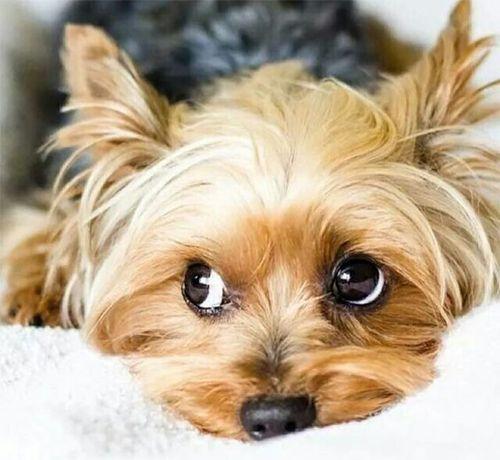 cruza de caniches : Yorkipoo -  Yorkshire Terrier + Caniche